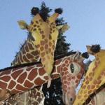 Girafes (Xirriquiteula Teatre) - Foto 3 baixa