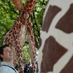 Girafes (Xirriquiteula Teatre) - Foto 5 baixa