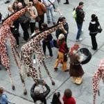 Girafes (Xirriquiteula Teatre) - Foto 6 baixa