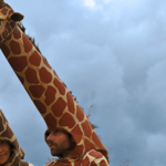 Girafes (Xirriquiteula Teatre) - Foto 7 baixa