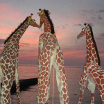 Girafes (Xirriquiteula Teatre) - Foto portada alta