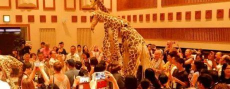 girafes okinawa 620